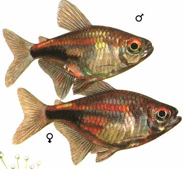 http://www.aquariumlife.net/profile-images/garnet-tetra.jpg